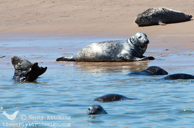 Seals off Walney May 2014