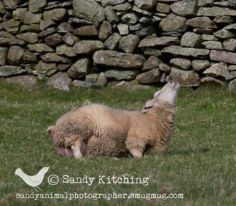 Ewe in labour