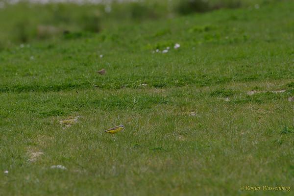 Motacillidae (kwikstaarten)