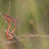 Pyrrhosoma nymphula (f and m)