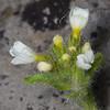 Erinus alpinus forma alba