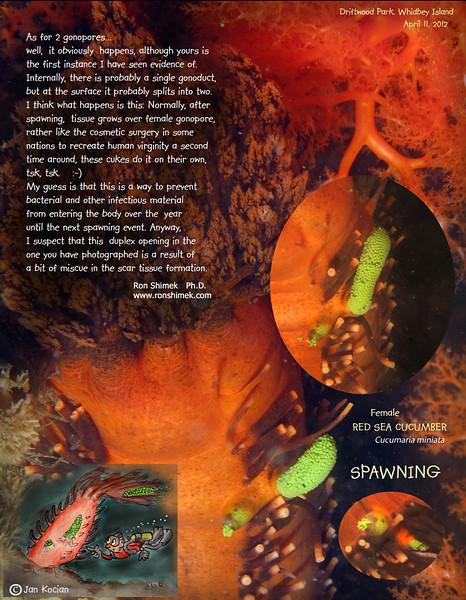 RED SEA CUCUMBER ( Cucumaria miniata ) spawning. Driftwood Park, Whidbey Island. April 9, 2012