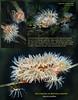 PROLIFERATING ANEMONE ( Epiactis prolifera ). Mutiny Bay, Whidbey Island. December 15, 2011