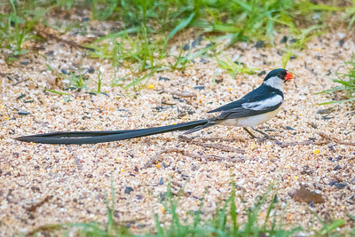 Pin-tailed Whydah-4269