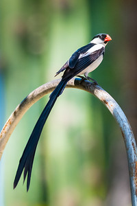 Pin-tailed Whydah-4177