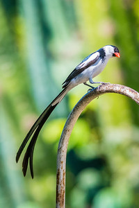 Pin-tailed Whydah-4171