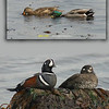 Mallards and Harlequin ducks at Double Bluff beach.<br /> April 16, 2010