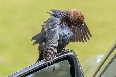 Brown-headed cowbird_male-0695