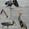 GREAT BLUE HERON  ( Ardea herodias ).<br /> Double Bluff beach, April 29, 2010