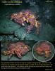Puget Sound King Crab - Sares Head, Fidalgo Island, September 21, 2008