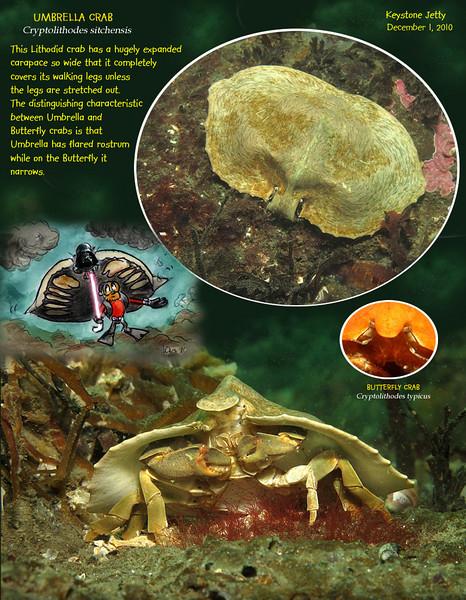 UMBRELLA CRAB( Cryptolithodes sitchensis ).<br /> Keystone Jetty, Whidbey Island. December 1, 2010