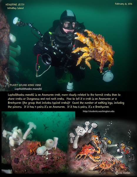 My buddy Paul and PUGET SOUND KING CRAB  ( Lopholithodes mandtii ). Keystone Jetty, Whidbey Island. February 8, 2015