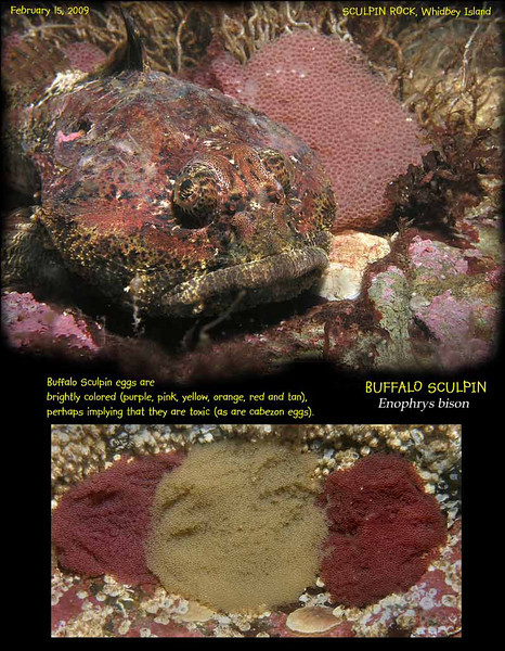 Buffalo sculpins also found Sculpin Rock a good place to lay eggs. February 15, 2009