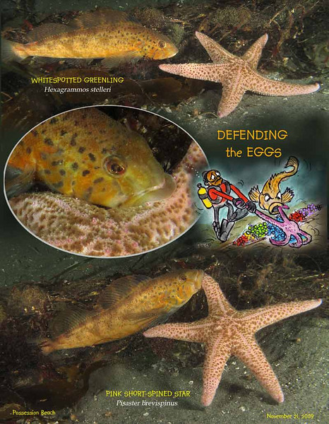 Whitespotted greenling defends eggs from sea star..<br /> Possession Beach, November 21, 2009