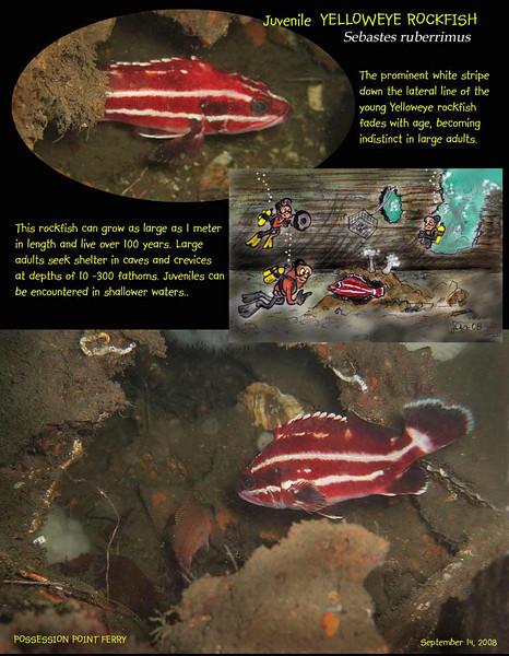 Yelloweye Rockfish (juvenile).  Possession Point Ferry wreck. Whidbey Island, WA