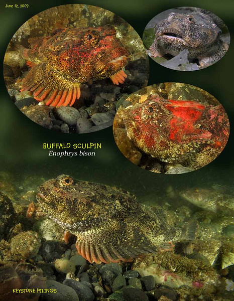 Buffalo sculpins under the old wharf. Keystone Pilings, June 12, 2009