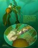 TUBESNOUT   Aulorhynchus flavidus   tending eggs.<br /> Keystone Pilings, June 22, 2010