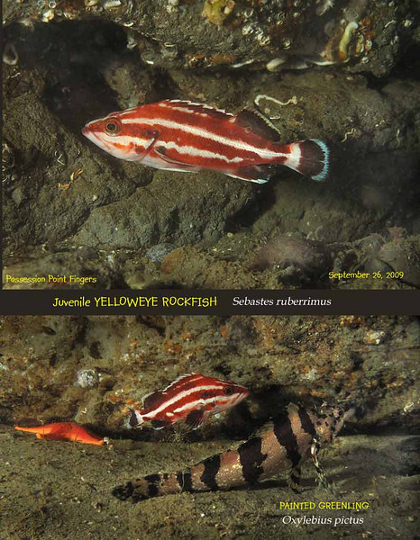 Juvenile Yelloweye Rockfish ( Sebastes ruberrimus) with Painted Greenling and Vermillion Star .<br /> Possession Poit Fingers, September 26, 2009