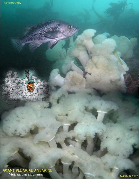 Black Rockfish and Plumose Anemones