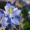 Colorado Blue Columbine