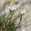 Unidentified Pea Size Flower