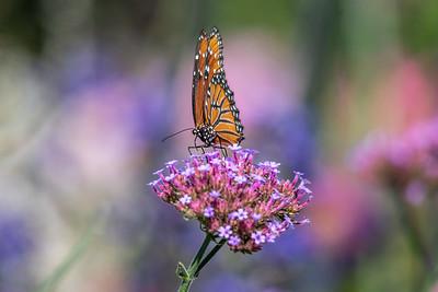 Garden_Butterfly-7493