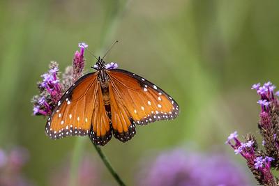 Garden_Butterfly-7487