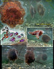 LION'S  MANE JELLYFISH	( Cyanea capillata ) getting trashed in surf.<br /> Keystone Jetty, Whidbey Island. October 23, 2010