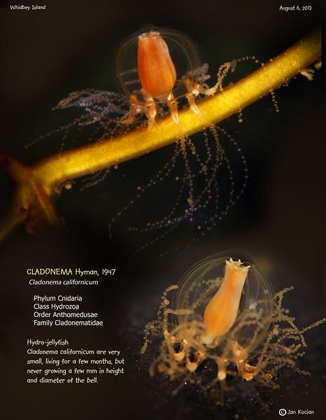 CLADONEMA JELLYFISH ( Cladonema californicum ). Whidbey Island. August 6, 2013
