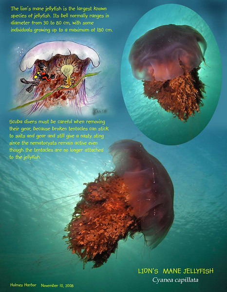 Lion's Mane Jellyfish. Largest species of jellyfish in the world. Well, this specimen was only @ 2 feet in diameter.. Rare visibility in Holmes Harbor - 30 feet ! November 10, 2008