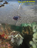 LION'S  MANE JELLYFISH( Cyanea capillata )<br /> Keystone Jetty, Whidbey Island. November 10, 2010