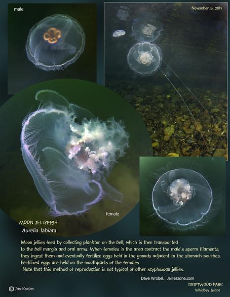 Reproduction strategy of the MOON JELLY ( Aurelia labiata ). Driftwood Park, Whidbey Island. November 8, 2014