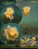 In the planktonic soup of Keystone, small jellyfish. May 16, 2009