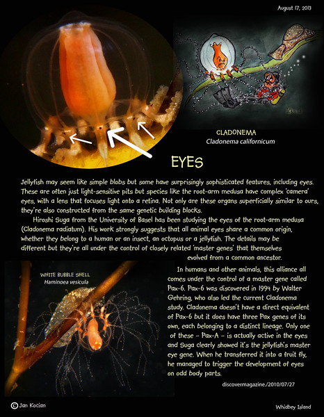 CLADONEMA JELLYFISH ( Cladonema californicum ). Whidbey Island. August 17, 2013