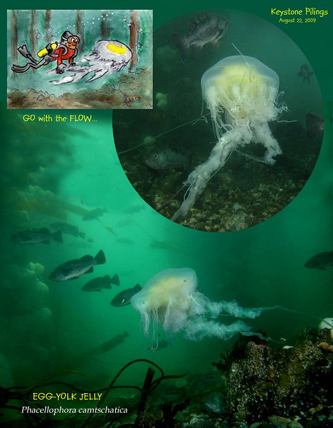 I join the Egg Yolk Jelly on its journey through the pilings. the current doing the work. I was amazed to see how the blind, helpless looking jelly managed to avoid being entangled in the obstacles the old wharf is loaded with.<br /> August 22, 2009
