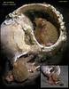 Red octopus in Moonsnail shell. October 15, 2008