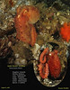Giant Pacific Octopus, Enteroctopus dofleini.<br /> Keystone Pilings, August 12, 2009