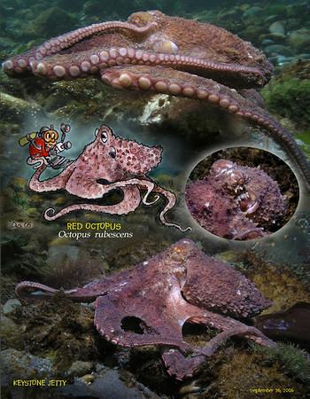 Octopus, Squid