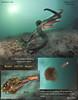 GIANT PACIFIC  OCTOPUS( Enteroctopus dofleini ) escape. Keystone Pilings, Whidbey Island. September 22, 2012