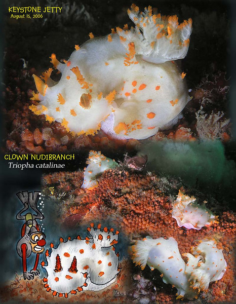 Triopha catalinae  - CLOWN NUDIBRANCH
