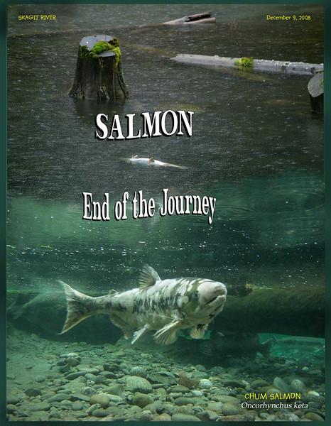 Skagit River, North Cascades. Chum Salmon dying. December 9, 2008