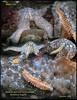 FRAGILE RUFFLED SCALEWORM( Arctonoe fragilis ). Keystone Jetty, Whidbey Island.