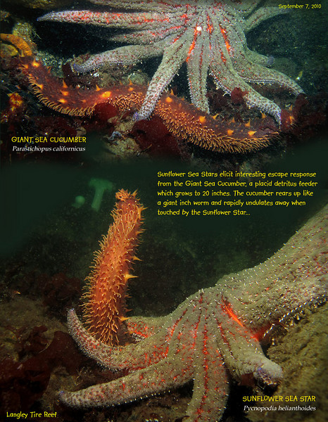 GIANT SEA CUCUMBER	( Parastichopus californicus ) escapes from  SUNFLOWER SEA STAR    (  Pycnopodia helianthoides ).<br /> Langley Tire Reef, Whidbey Island. September 7, 2010