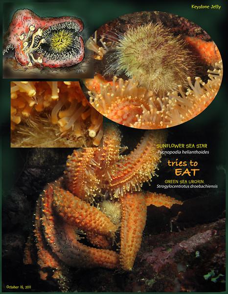 SUNFLOWER STAR eats GREEN SEA URCHIN. Keystone Jetty, Whidbey Island. October 16, 2011