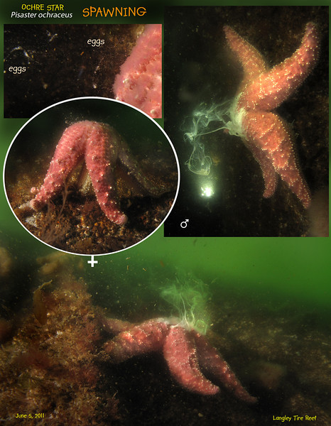 OCHRE STAR ( Pisaster ochraceus ) spawning. <br /> Langley Tire Reef, Whidbey Island. June 5, 2011