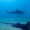 November 16, 2016 BULL SHARK  ( Carcharhinus leucas )  El Vencedor wreck