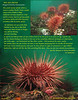 RED SEA URCHIN	 ( Strogylocentrotus franciscanus	)