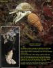 WRINKLED AMPHISSA  ( Amphissa columbiana ).<br /> Keystone Jetty, Whidbey Island. July 18, 2010