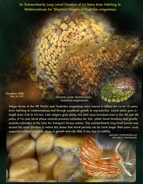 OREGON HAIRY TRITON eggs. ( Fusitriton oregonensis ). Keystone Jetty, Whidbey Island. May 25, 2012