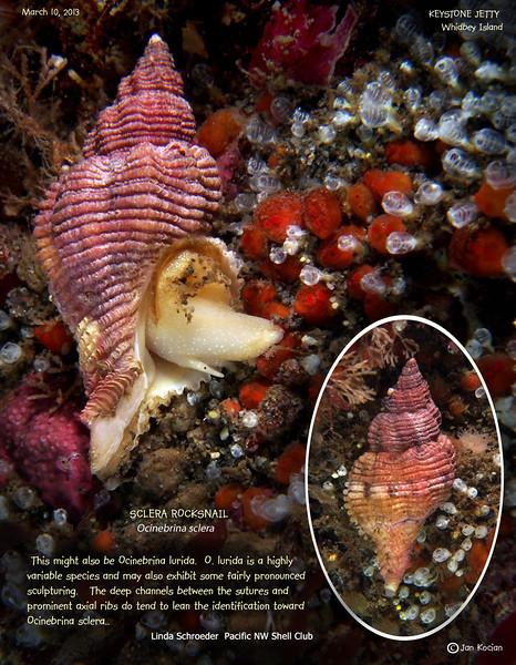 SCLERA ROCKSNAIL  (Ocinebrina sclera ). Keystone Jetty, Whidbey Island. March 10, 2013